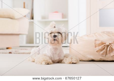 Cute young Maltese laying near his bed at home
