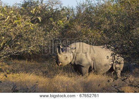 Black rhino in the wild 4