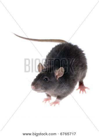 Young Black Rat