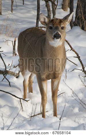 Snowy Winter Deer