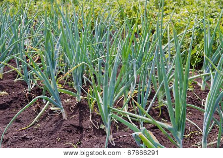 Onions Growing On The Field
