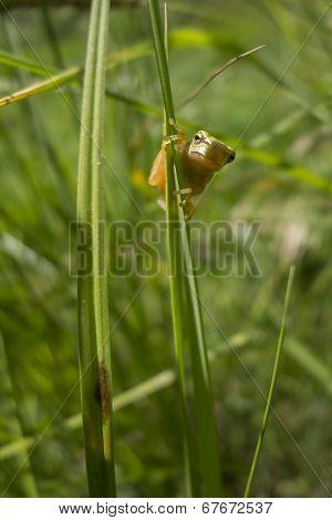 Young Treefrog, Hyla Arborea,