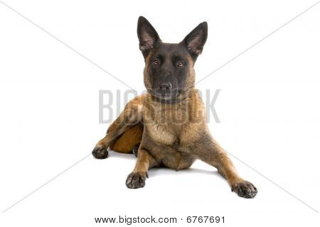 Belgium Shepherd dog