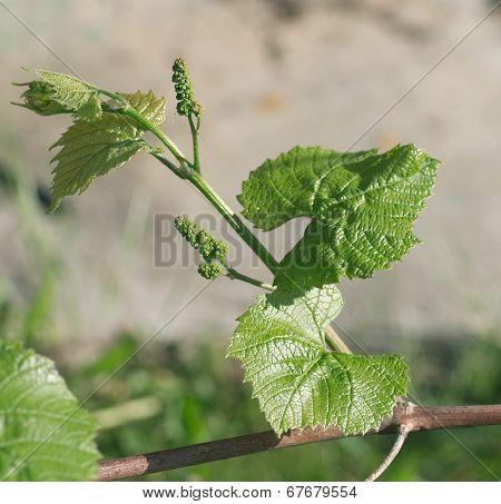 Young Grape Escape