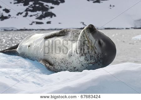 Leopard Seal Lying On The Ice Against The Backdrop Of The Mountains Of The Antarctic