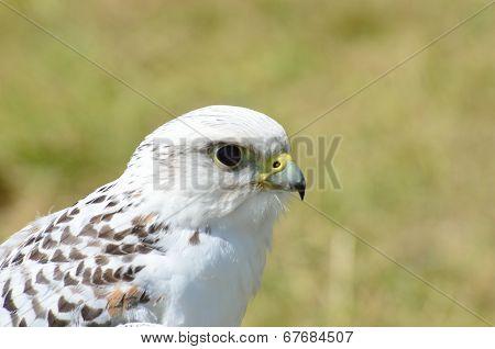 White falcon head