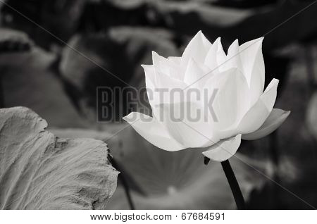 White Lotus In Basin - Oil Painting