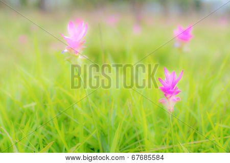 Curcuma Alismatifolia( Siam Tulip)