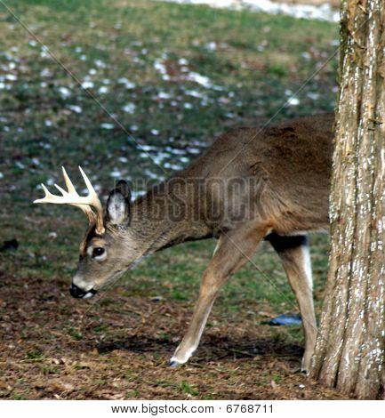 Emerging Buck