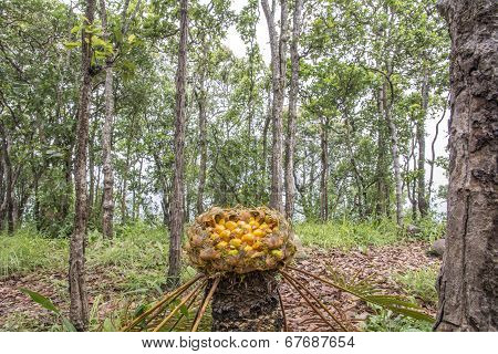 Cycad:cycas Macrocarpa Griff