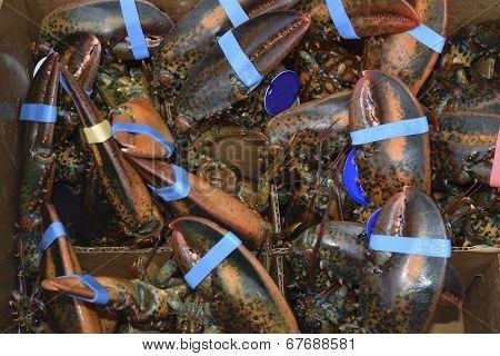 European Lobsters