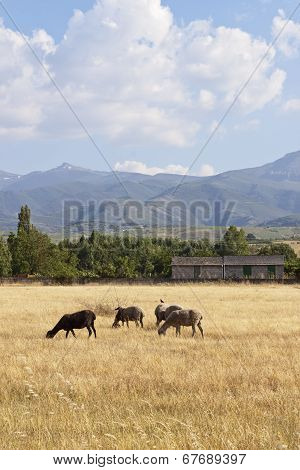 Sheep Flock Grazing