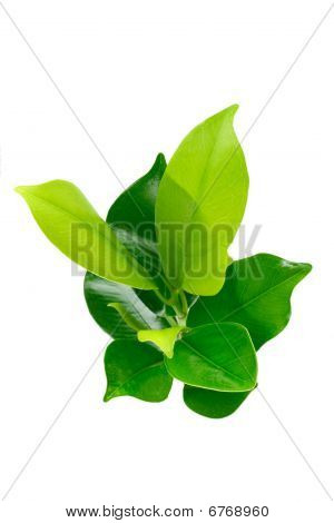 Green Young Plant