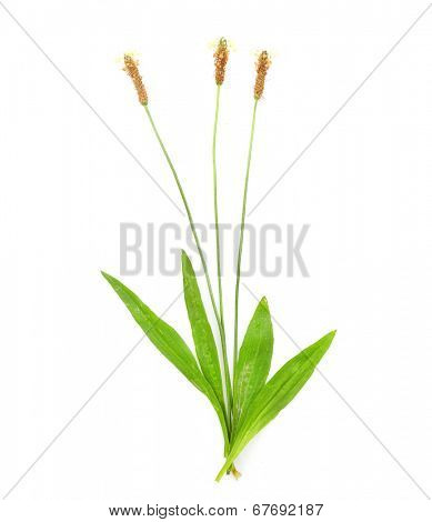 Ribwort plantain (Plantago lanceolata) is used frequently in tisane and other herbal remedies. Plantain is one of the most abundant and accessible medicinal herbs.