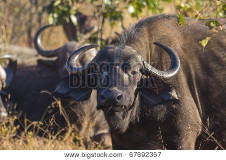 Adult buffalo portrait