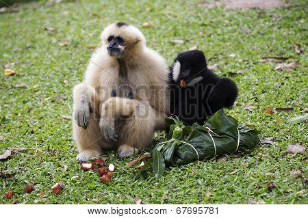 Cheeked Gibbon Or Lar Gibbon Sitting