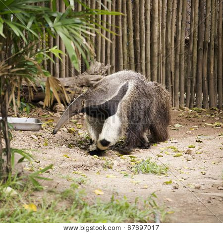 Giant Ant Eater Walking