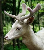 foto of bestiality  - This is a male albino fallow deer - JPG