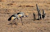 stock photo of wander  - A pair of grey crowned cranes  - JPG