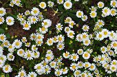 image of mites  - Daisy flowers with red mites and bees - JPG