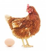 foto of egg-laying  - Isolated brown hen with egg in the studio - JPG