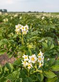 picture of solanum tuberosum  - Closeup of white and yellow blossoming potato or Solanum tuberosum plants in a large field on a sunny day in the early summer season.