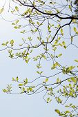 picture of dogwood  - Branches of dogwood  - JPG