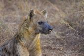 stock photo of hyenas  - Alert hyena adult in the wild at sunrise - JPG