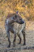 pic of hyenas  - Adult hyena in the wild at sunrise - JPG