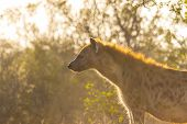 foto of hyenas  - Adult hyena in the early morning sun - JPG