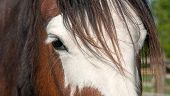 image of horse face  - Close up of a bay horse face with white blaze - JPG