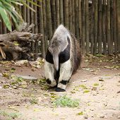 stock photo of ant-eater  - giant ant eater walking and looking something - JPG