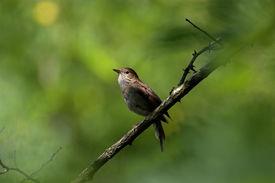 image of nightingale  - nightingale standing on a branch in green greenery - JPG