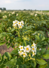 stock photo of solanum tuberosum  - Closeup of white and yellow blossoming potato or Solanum tuberosum plants in a large field on a sunny day in the early summer season. [[** Note: Shallow depth of field] ** Note: Soft Focus at 100%, best at smaller sizes - JPG
