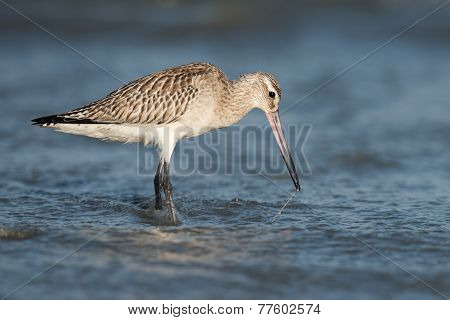 Bar-tailed Godwit (limosa Lapponica) Pulling A Worm Out From Below The Waves
