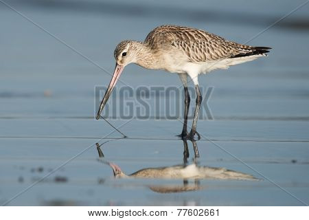 Bar-tailed Godwit (limosa Lapponica) Pulling A Worm Out Of Wet Sand