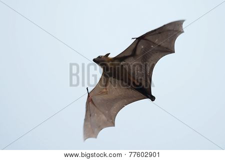Gambian Epauletted Fruit Bat (epomophorus Gambianus) In Flight