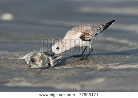 Sanderling (caladris Alba) Feeding On A Dead Fish