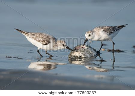 Sanderling (caladris Alba) Picking At A Dead Fish