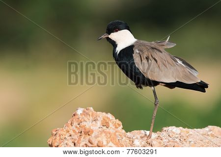 Spur-winged Lapwing (vanellus Spinosus) Standing On One Leg