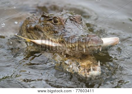 West African Crocodile (crocodylus Suchus) Eating A Fish