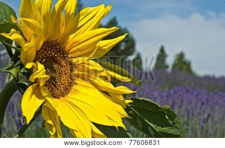 Beautiful Sunflower With Lavender Field In Distance Landscape