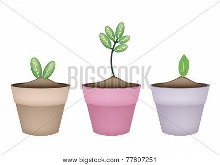 Fresh Green Trees in Terracotta Flower Pots