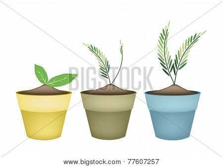 Lovely Green Trees in Terracotta Flower Pots