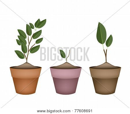 Fresh Ornamental Trees in Ceramic Flower Pots