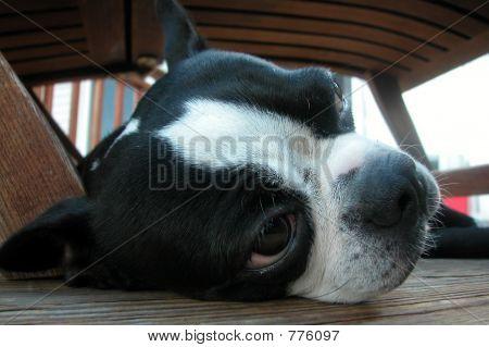 Boston Terrier Nap