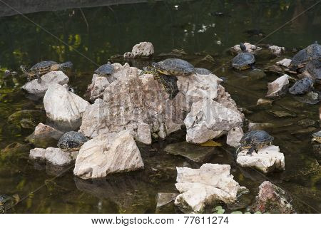 Turtles Sunning Photo