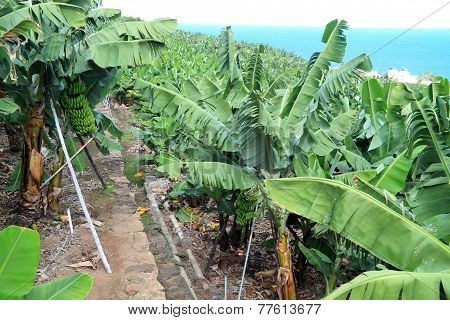 Large banana plantation