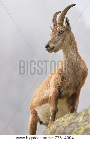 Pregnant Ibex