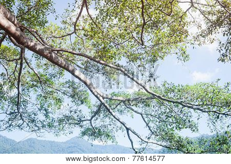 Branches Of Big Tree In Sunshine Day